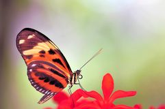 Mechanitis butterfly on red flower Stock Image