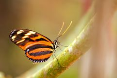 Mechanitis butterfly on tree branch Royalty Free Stock Images