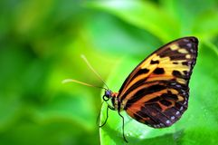 Mechanitis butterfly (underside) Royalty Free Stock Images