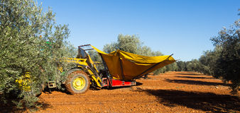 Mechanized collection of olives. At agricultural plant. Andalusia Royalty Free Stock Photos