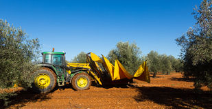 Mechanized collection of olives. At agricultural plant.  Spain Royalty Free Stock Photography