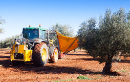 Mechanized collection of olives. In Spain Stock Photos