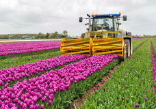 Mechanized cutting off the flower heads in a tulip field. Mechanized cutting off the flower heads in the  tulip field of a specialized flower bulb nursery in the Royalty Free Stock Photo