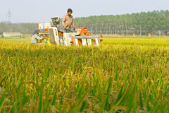 Mechanized harvesting rice Stock Photography
