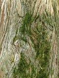 Mechata barkentyna tropikalny deciduous drzewo Zdjęcie Royalty Free