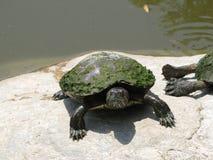 mechaty żółw zdjęcie stock