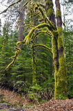 Mechaty drzewo w lesie Zdjęcie Royalty Free