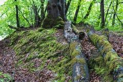 Mechaty zielony deciduous lasu krajobraz w frutigen Fotografia Royalty Free