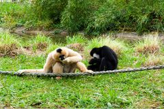Mechelen, Bélgica - 17 de maio de 2016: Dois macacos no jardim zoológico de Planckendael Fotos de Stock