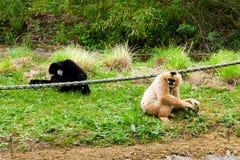 Mechelen, Bélgica - 17 de mayo de 2016: Dos monos en el parque zoológico de Planckendael Fotografía de archivo libre de regalías