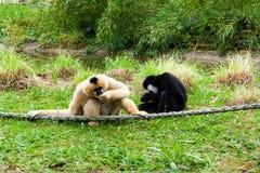 Mechelen, Bélgica - 17 de mayo de 2016: Dos monos en el parque zoológico de Planckendael Fotos de archivo