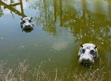 Mechelen, Bélgica - 17 de mayo de 2016: Figuras de los hipopótamos en agua en el parque zoológico de Planckendael Foto de archivo libre de regalías