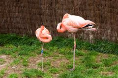 Mechelen, België - 17 Mei 2016: Flamingo's in Planckendael-dierentuin royalty-vrije stock afbeelding