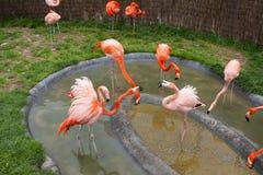 Mechelen, België - 17 Mei 2016: Flamingo's in Planckendael-dierentuin royalty-vrije stock afbeeldingen