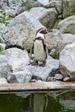 Mechelen, België - 17 Mei 2016: Pinguïn in Planckendael-dierentuin stock foto