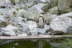 Mechelen, België - 17 Mei 2016: Pinguïn in Planckendael-dierentuin stock foto's