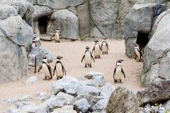Mechelen, België - 17 Mei 2016: Pinguïnen in Planckendael-dierentuin royalty-vrije stock foto's