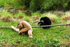 Mechelen, België - 17 Mei 2016: Twee apen in Planckendael-dierentuin Stock Afbeeldingen