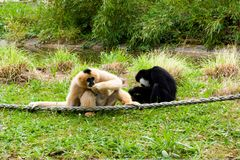 Mechelen, Belgien - 17. Mai 2016: Zwei Affen in Planckendael-Zoo Lizenzfreies Stockfoto