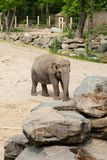 Mechelen Belgien - 17 Maj 2016: Elefanter i den Planckendael zoo arkivbild