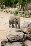 Mechelen, Belgique - 17 mai 2016 : Éléphants dans le zoo de Planckendael photographie stock