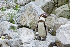 Mechelen, Belgium - 17 May 2016: Penguin in Planckendael zoo. Mechelen, Belgium - 17 May 2016: Penguin in Planckendael zoo stock photo