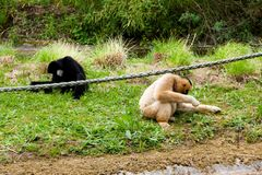 Mechelen, Belgium - 17 May 2016: Two monkeys in Planckendael zoo. Stock Images