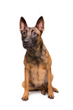Mechelse herder, belgian shepherd, Stock Image
