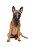 Mechelse herder, belgian shepherd, Royalty Free Stock Photos