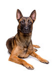 Mechelse herder, belgian shepherd, Stock Photo