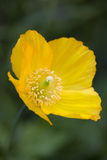 Meconopsis cambrica (Welsh Poppy) Royalty Free Stock Photo