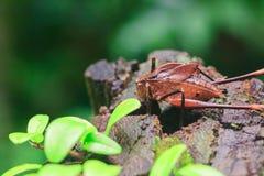 Mecopoda elongata en nature a un corps brun image libre de droits