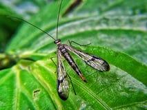 Mecoptera eller scorpionflies lägger på det gröna bladet fotografering för bildbyråer