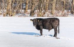 Med is Angus tjur i nyligen stupad snö Fotografering för Bildbyråer