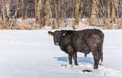 Med is Angus tjur i nyligen stupad snö Arkivbild