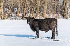 Med is Angus tjur i nyligen stupad snö royaltyfri fotografi