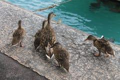 And med ankungar på sjön Garda Italien arkivfoton