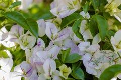 Med blommabuganvilla Royaltyfri Fotografi