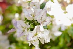 Med blommabuganvilla Royaltyfri Bild
