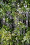 Med is buske Arkivbilder