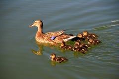 And med ducklings Royaltyfri Bild