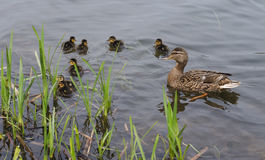 And med ducklings Royaltyfri Bild