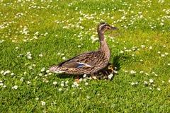And med ducklings gå i stadsfågel Royaltyfri Foto