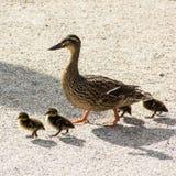 And med ducklings gå i stadsfågel Fotografering för Bildbyråer