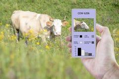 Med hjälpen av en smartphone och en avkännare på kon att bestämma hur mycket tid lägger åt stod kon, tuggat, och Smart lantbruk arkivfoton