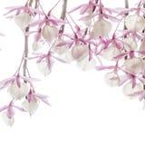 Med huva Dendrobium Royaltyfri Bild