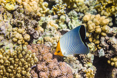 Med huva eller orangefacebutterflyfishChaetodon larvatus Arkivfoto