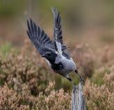 Med huva galande med lyftta vingar som tar av från dess stolpe Royaltyfri Foto