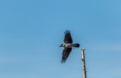 Med huva galande med spritt ta för vingar av från dess stolpe Royaltyfria Bilder
