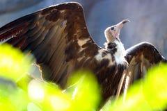 Med huva gam som fördelar dess vingar i solen bak oskarpa gröna sidor fotografering för bildbyråer